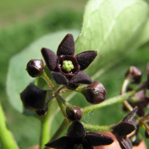 Black Swallow Wort
