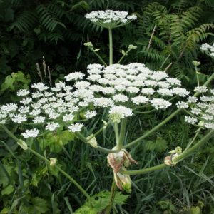 Flower head - Hogweed