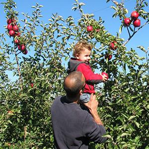 apples11
