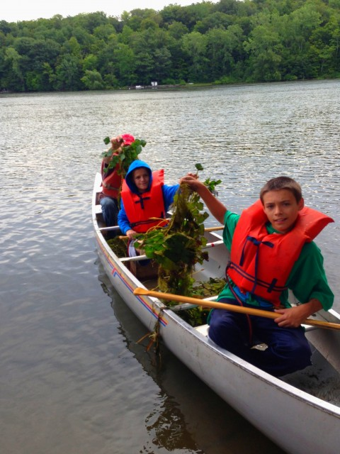 A Boy Scout Troop helps with a community Water Chestnut hand-pull.